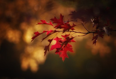 maple-leaves-2895335_1920