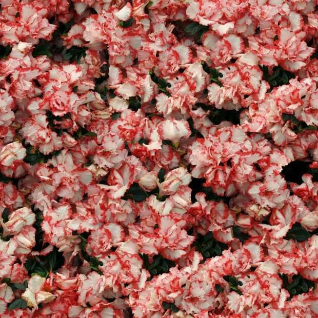 Фоны для презентаций - Поляна цветов 12