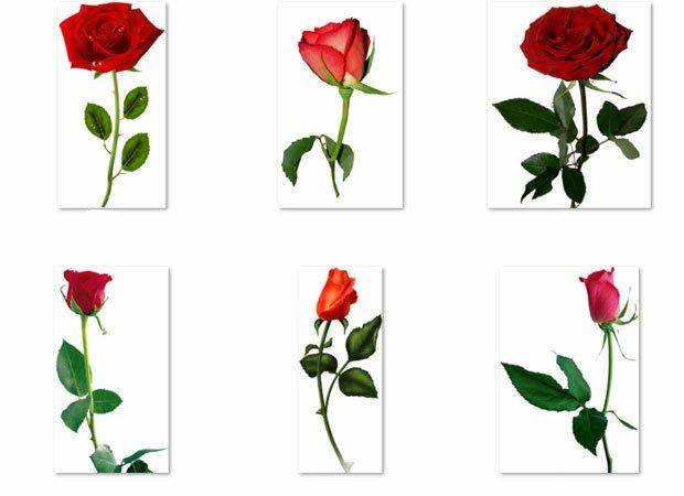 Цветки красных роз