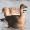 Гуси и лебеди как водоплавающие птицы - презентация