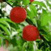 Плодовые деревья - презентация