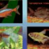 Аквариумные рыбки - презентация
