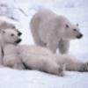 Семейство медвежьи - презентация