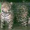 Ягуар, отряд хищники - презентация