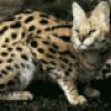Семейство кошачьи, хищники - презентация