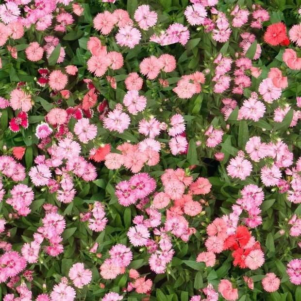 Фоны для презентаций - Поляна цветов 10