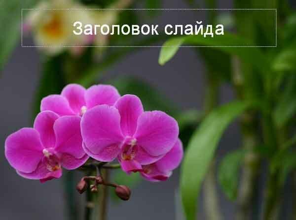 Шаблон презентации Цветы - титул