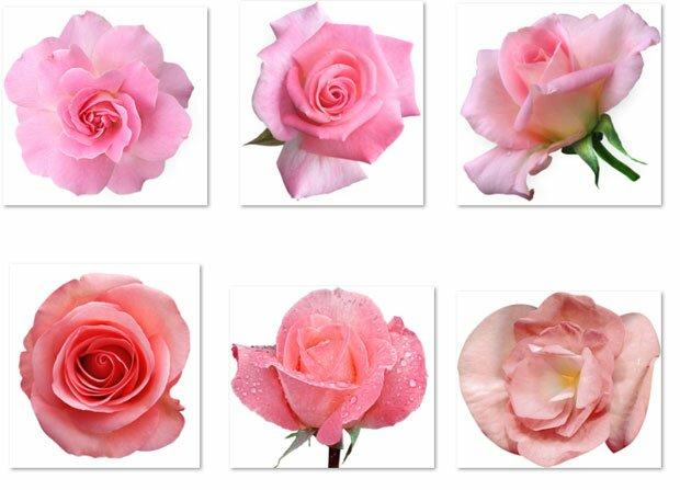 Алый бутон розы