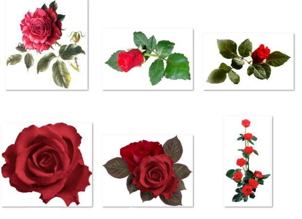 Кроваво красные розы