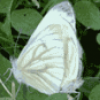 Известные бабочки - презентация