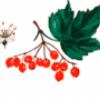 Дикие ягоды - презентация