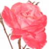 Декоративные цветы - презентация