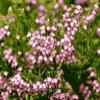 Цветы как дикорастущие растения - презентация