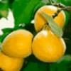 Фрукты и фруктовые деревья - презентация