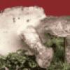 Грибы отряд трюфелевые - презентация