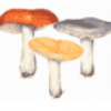 Съедобные грибы - презентация