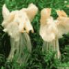Растения класс антоцеротовые и аскомицеты - презентация