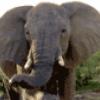 Слоны - презентация