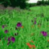 Травы и цветы - презентация