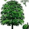 Лиственные деревья - презентация