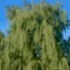 Деревья в стихах - презентация