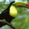 Птица тукан - презентация