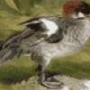 Утки, отряд уткообразные - презентация