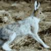 Заяц жизнедеятельность - презентация