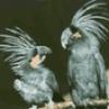 Попугаи. Какие они бывают - презентация