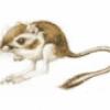 Отряд грызуны и зайцеобразные - презентация