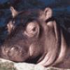 Бегемот в зоопарке - презентация