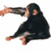 Приматы обезьяны - презентация
