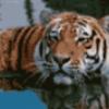 Тигры хищники - презентация