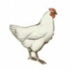 Домашние животные и птицы - презентация
