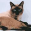Разные породы кошек - презентация