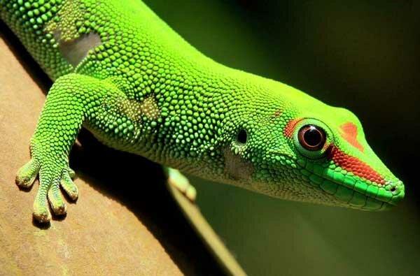 Ящерица геккон