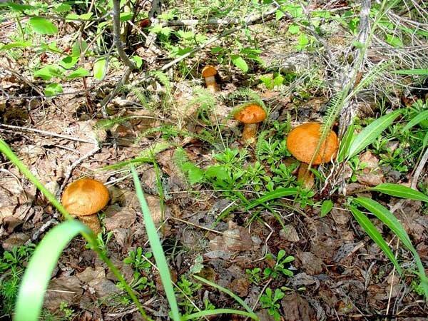 Поляна с грибами