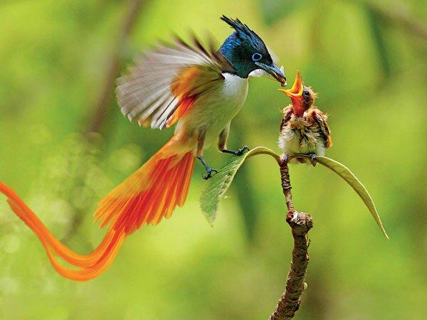 Райская птица кормит птенца